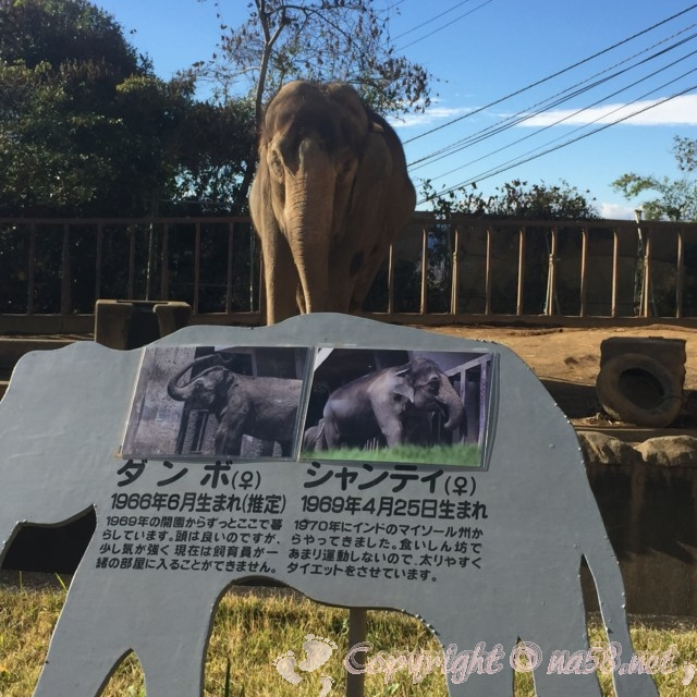 静岡市立日本平動物園(静岡県静岡市)アジアゾウのシャンティ雌