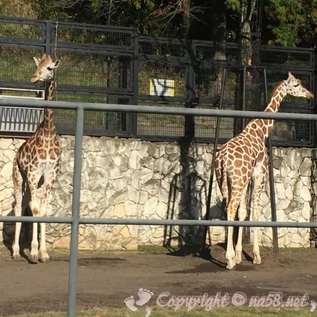 静岡市立日本平動物園(静岡県静岡市)キリン