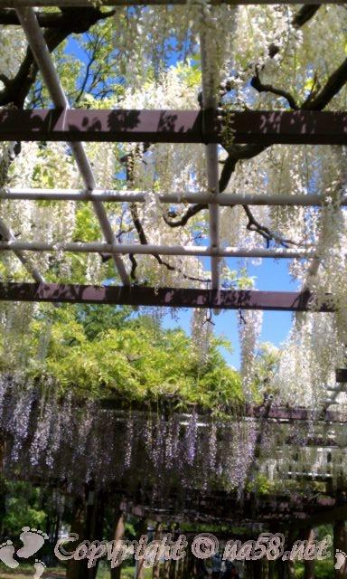 名古屋城の周囲の藤の回廊の藤(白い花)