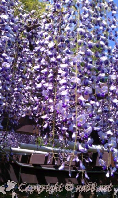 名古屋城の周囲の藤の回廊の藤
