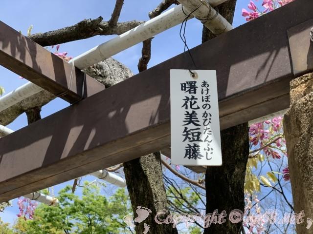 名古屋城の周囲の藤の回廊の藤(曙花美短藤)