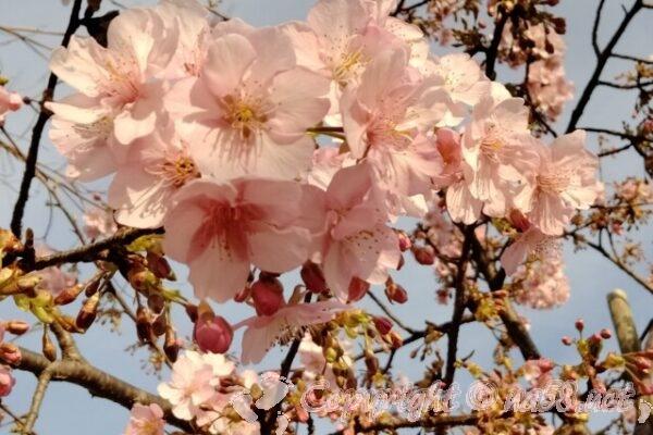 梅の花 満開近く