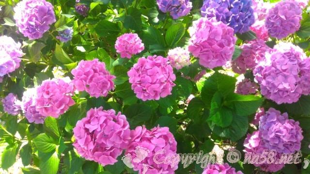 てまりあじさい、紫陽花イメージ