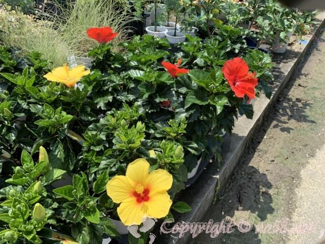 愛知県西尾市「憩いの農園・バラ園」7月訪問、ハイビスカス