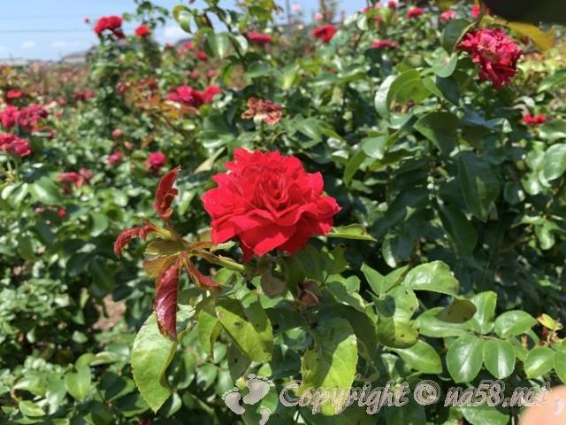 愛知県西尾市「憩いの農園・バラ園」のバラ園のバラ