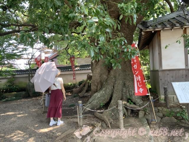 無量寺(ガン封じの寺)愛知県蒲郡市、境内の大楠と私