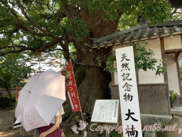 無量寺(ガン封じの寺)愛知県蒲郡市、境内の大楠