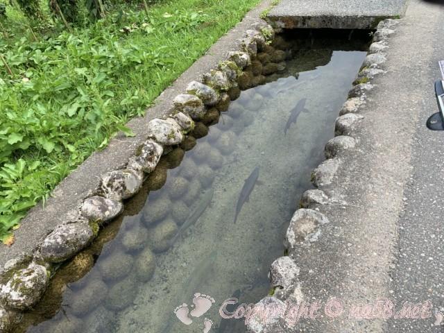 「萩町合掌造り集落」(岐阜県白川村)岩魚の泳ぐきれいな用水路