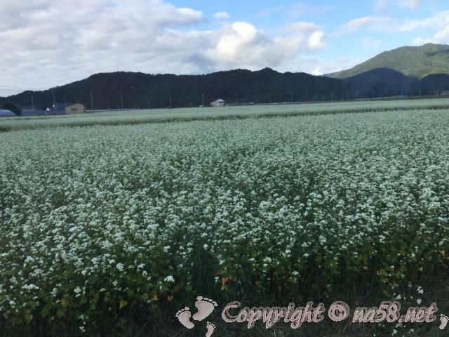 「霞の郷温泉」(福井県坂井市)の周辺のそばの畑 蕎麦の花が満開