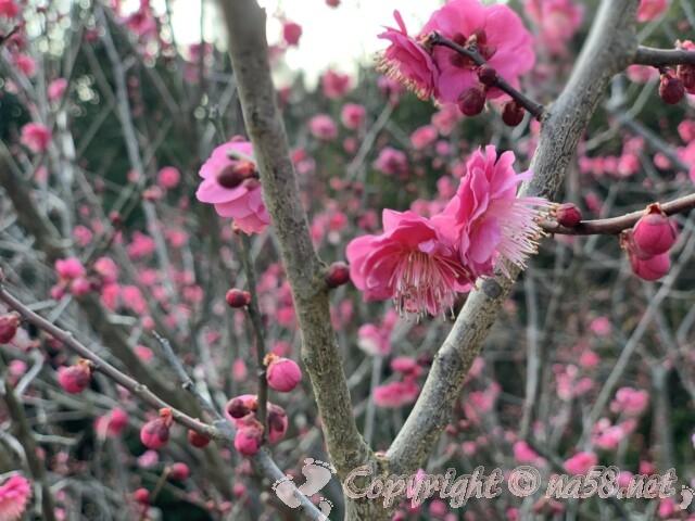 聖崎公園(愛知県南知多町)高台の梅が五部咲き