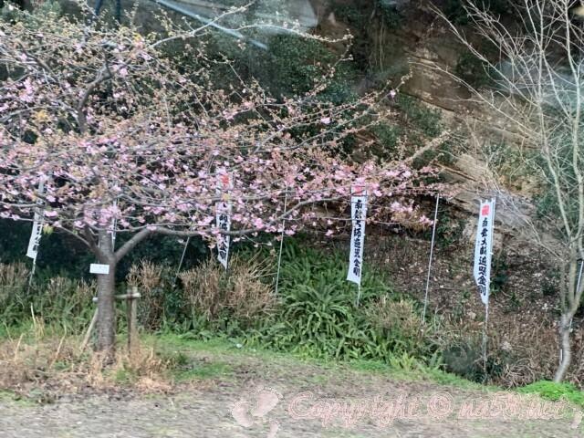 弘法大師空海 上陸大師像(愛知県南知多町)のある聖崎公園 河津桜が3部咲き