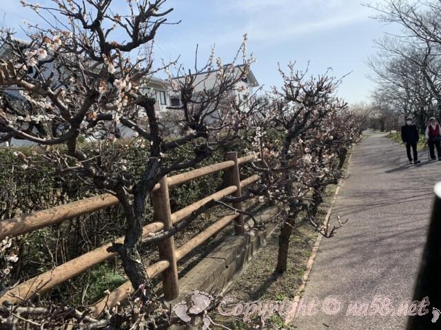 安八百梅園 中須川沿いにも梅がみられる