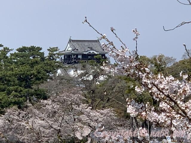 岡崎桜まつりの 岡崎城を桜越しに乙川で