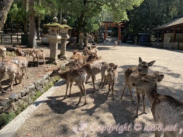奈良県 春日大社境内の鹿
