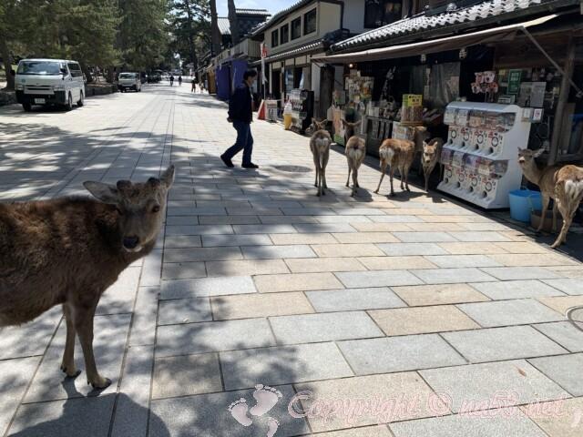 奈良県 奈良公園の鹿たち 鹿せんべい販売所の前にたくさんいる