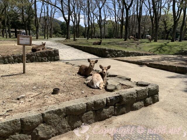 奈良県 奈良公園の鹿 くつろぐ姿