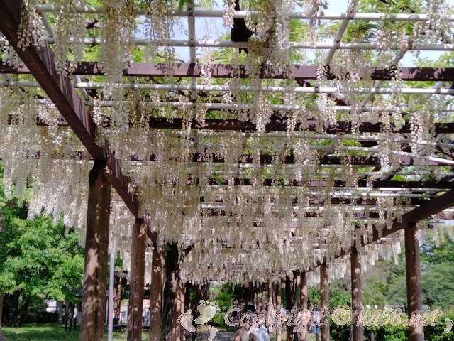 名古屋城の藤棚 白い藤