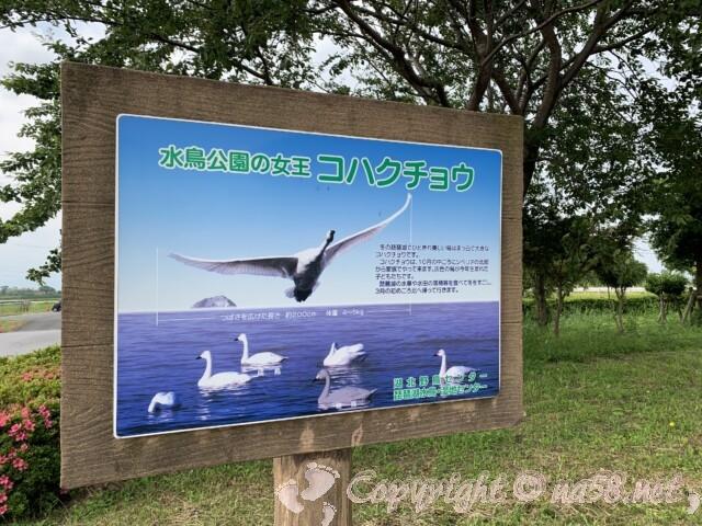 琵琶湖の水鳥公園 コハクチョウ