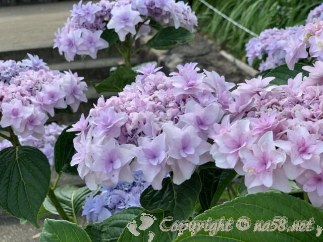 もりやま芦刈園(滋賀県守山市)のあじさい 和種と洋種1万株