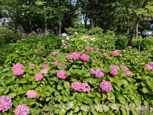 もりやま芦刈園(滋賀県守山市)のあじさい 見ごろの満開の株