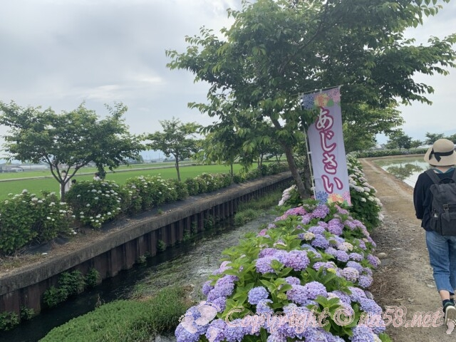 宮荘川のあじさい(滋賀県東近江市)