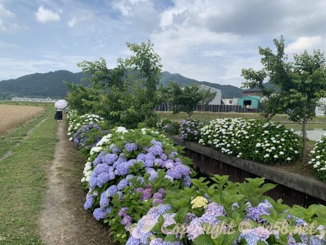 宮荘川のあじさい(滋賀県東近江市)桜の木もバランスよく植樹