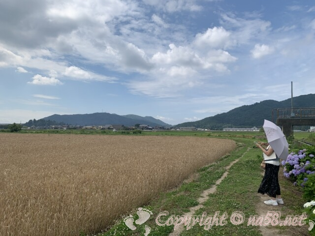 宮荘川のあじさい(滋賀県東近江市)周りは田と畑