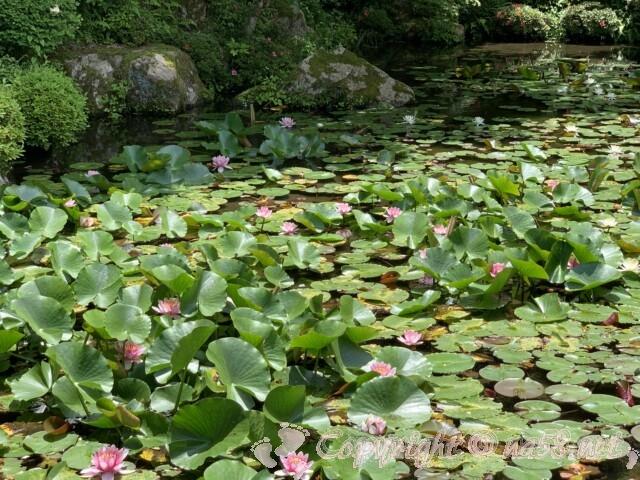 金剛輪寺(滋賀県愛知郡)名勝庭園の池に咲く睡蓮