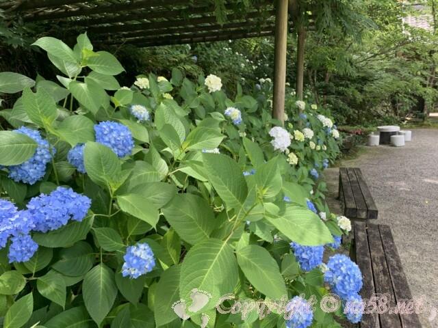 金剛輪寺(滋賀県愛知郡)名勝庭園入り口のあじさい