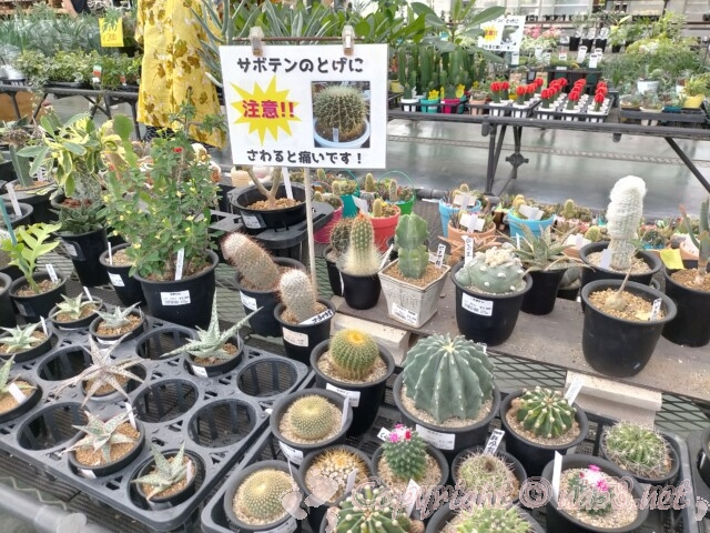 日本ライン花木センター・多肉植物 サボテン