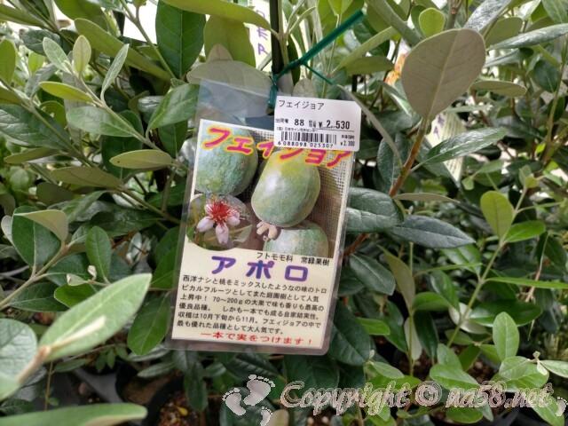 日本ライン花木センター・屋外の花木 果樹 フェイジョア