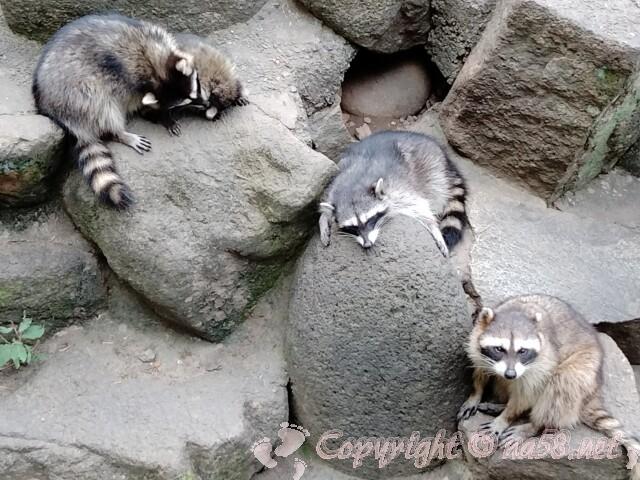 日本ライン花木センター・帰化動物アライグマ